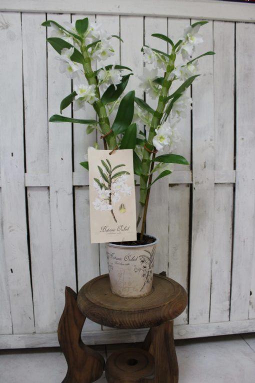 orquidea,botanica-25