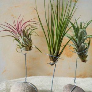 Plantas del aire/ tillandsias