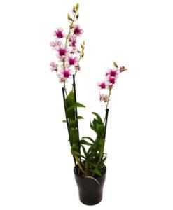 Orquidea rosa blanca
