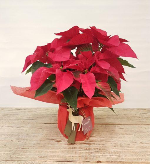 flor de pascua planta de navidad